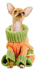 kisspng-chihuahua-maltese-dog-techichi-puppy-dog-breed-lovely-wear-sweater-puppy-5aad530e330020.5729577715213084302089